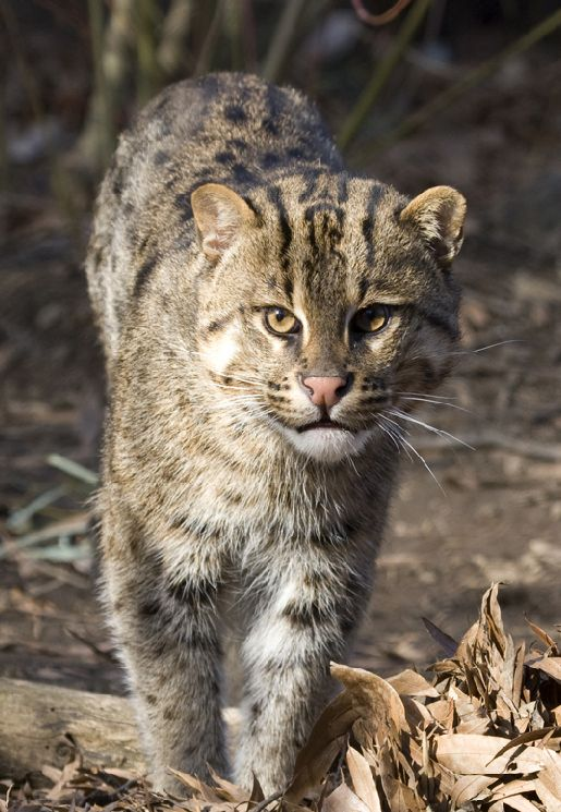 Fishing cat prionailurus viverrinus f lins pinterest for Fish video for cats