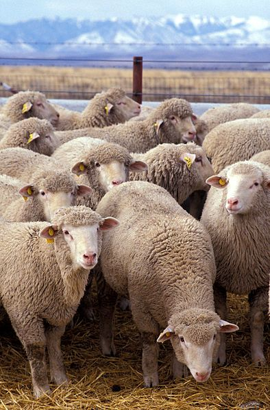 Sheep, sheep, everywhere... #wales #cymru