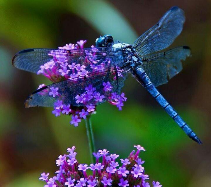Pretty blue dragonfly on purple flower. | Dragonfly ...