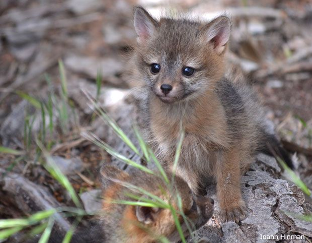 Grey fox pup. It probably belongs to my friend up at the Nut.
