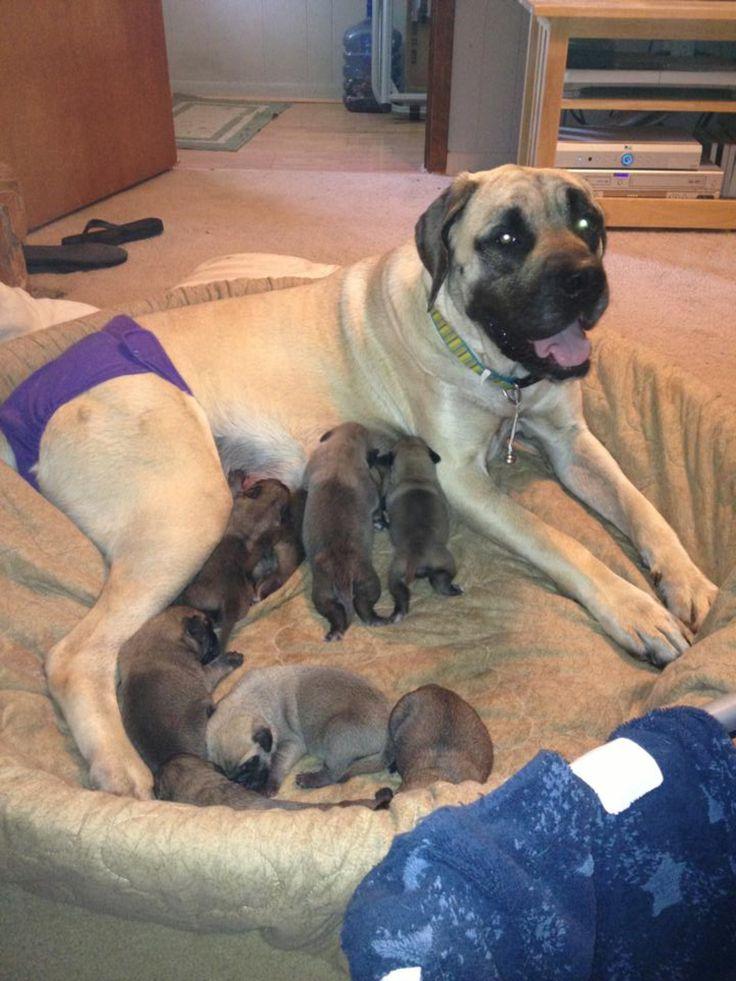 Akc old english mastiff puppies for sale born june 6 2013 some dep