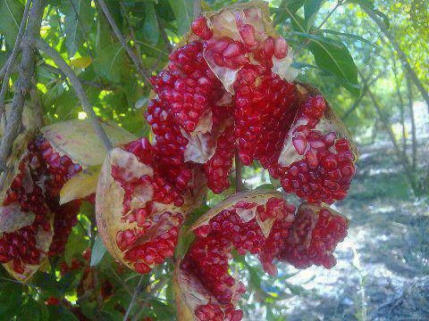what does the pomegranate symbolize in rosh hashanah