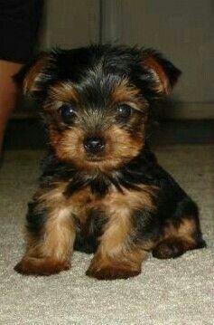 Teacup Yorkie Puppy. Too Cute!   YORKIES--PuRe LoVe.....   Pintere ...