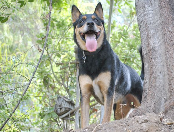 Stop German Shepherd Barking Problems Once and for All
