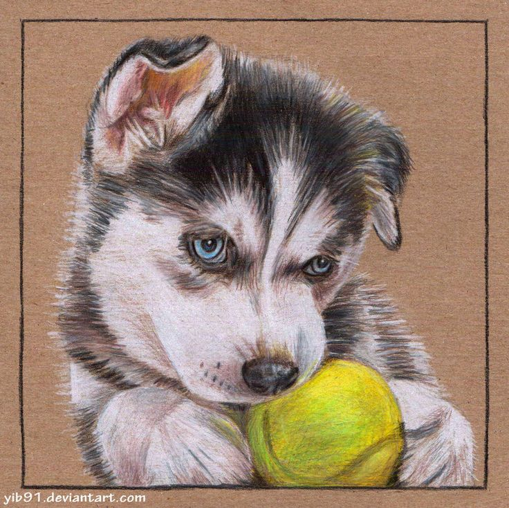 Cute Husky Puppy Drawings Cute Husky Puppy Drawings