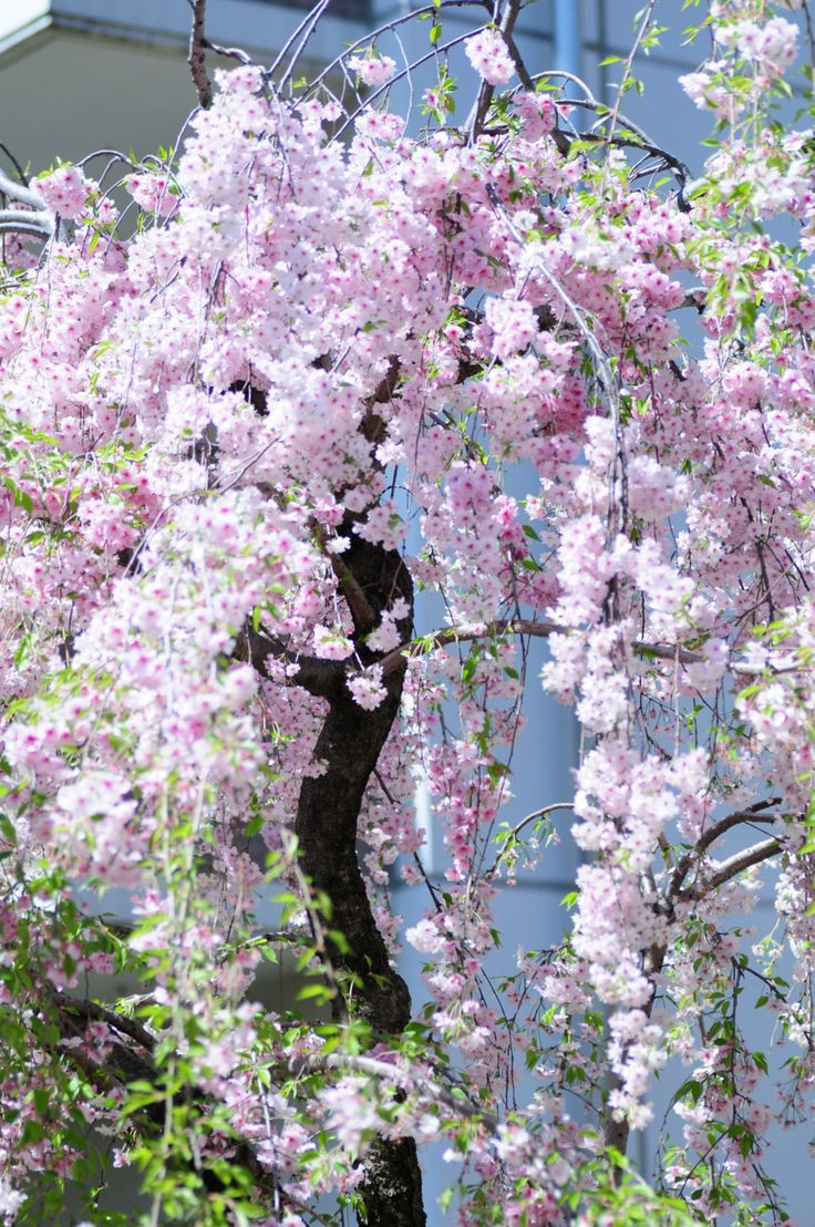 Weeping Cherry Tree Blossoms Garden Landscaping Ideas