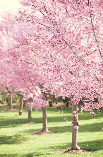 Beautiful Cherry Trees In Bloom Orchards Groves Fields