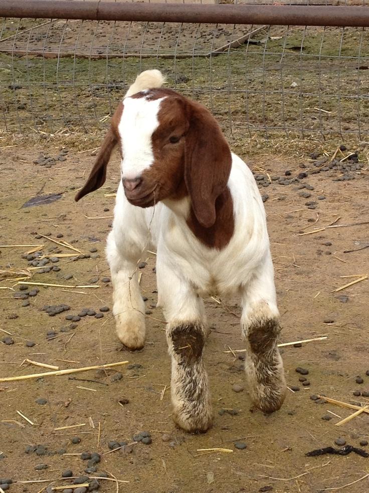 Cute Baby Boer Goats | www.imgkid.com - The Image Kid Has It!