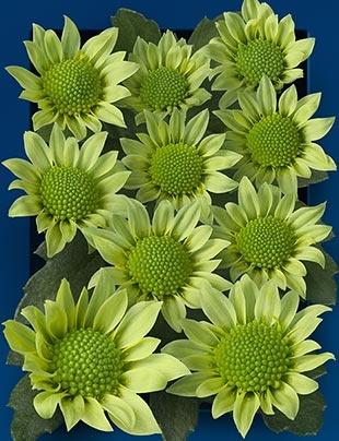 Madiba verde   - 30 a 40 flores de 2cm por haste - ano todo  gando-green-01-m.jpg (310×404)