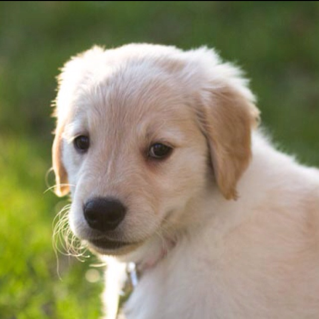 8 week old Golden Retriever puppy named Forby Ward.
