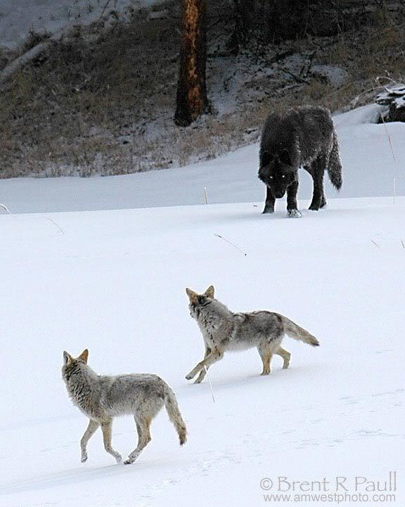 Coyote vs Wolf Difference