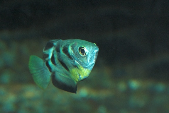 Banded Archerfish : Banded Archerfish Wetter is better! Pinterest