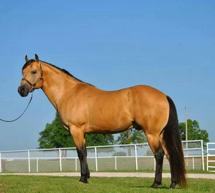 Buckskin quarter horse stallion - photo#5