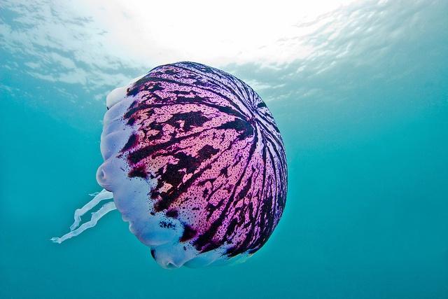 My kinda jellyfish. jellyfish3April20-12 by divindk, via Flickr