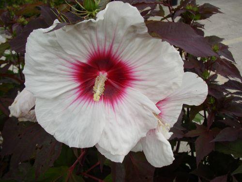 hardy hibiscus 39 kopper king 39 g a r d e n f e v e r. Black Bedroom Furniture Sets. Home Design Ideas