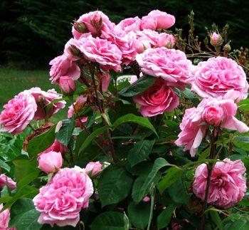gertrude jekyll rose i never promised you a rose garden. Black Bedroom Furniture Sets. Home Design Ideas
