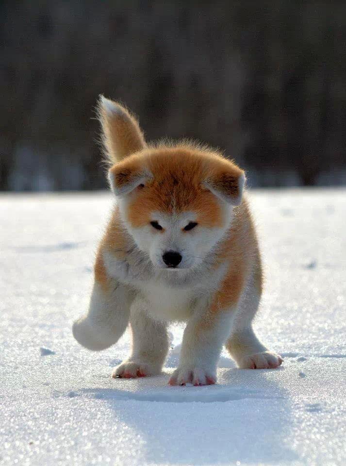 Akita puppy | Cuties | Pinterest