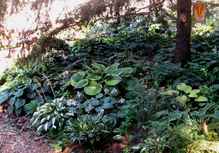 Planting Under Pine Trees Garden : Underspruce g ? garden