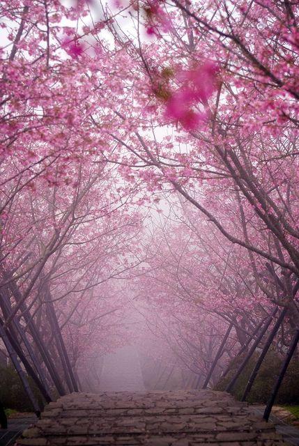 Japanese Cherry Blossoms: pink mist