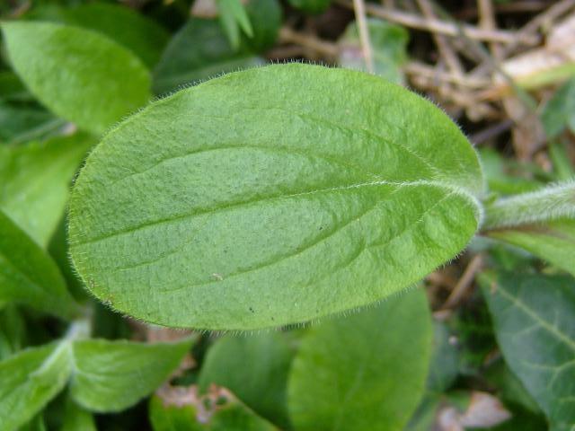 Red Campion leaf (Sile...