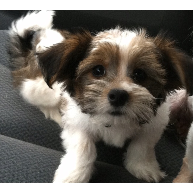 Maltese chihuahua mix... | Favorite Places & Spaces & People ...