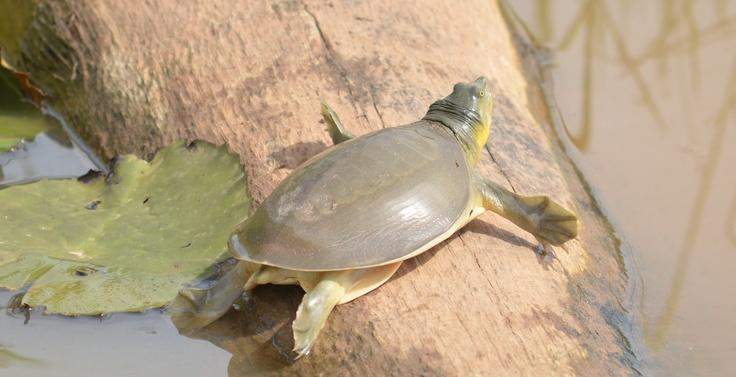 Freshwater turtle Freshwater Pinterest