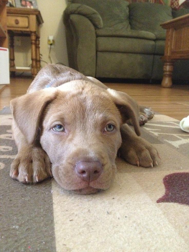 Beautiful 9-month old chocolate lab and pitbull mix
