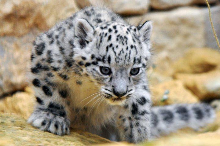 White Leopard Cub | Large Cats | Pinterest
