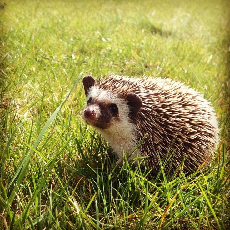 Hedgehogs | hedgie love | Pinterest