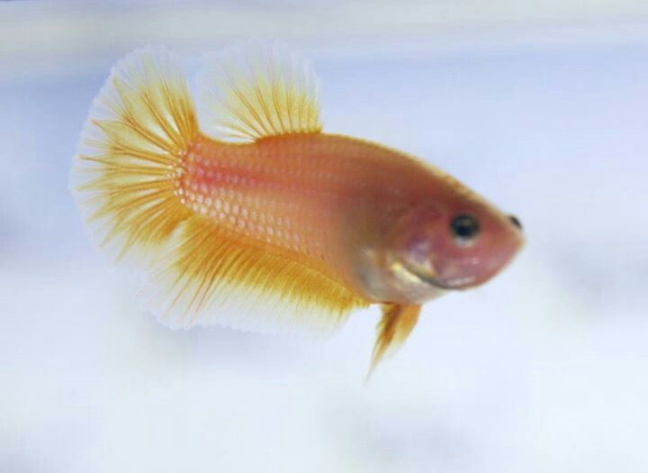 Bettas joy studio design gallery photo for Baby betta fish care