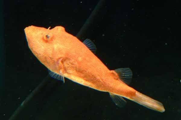 CONGO PUFFER fish Pufferfish! :D Pinterest