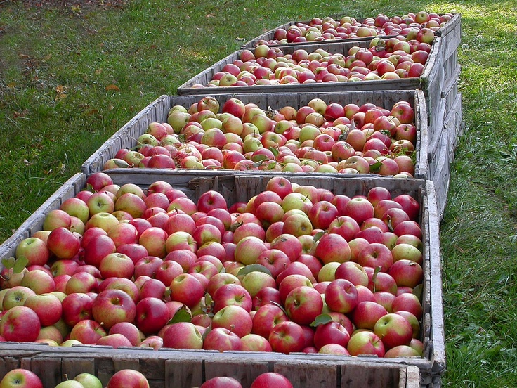 jonagold apples for baking