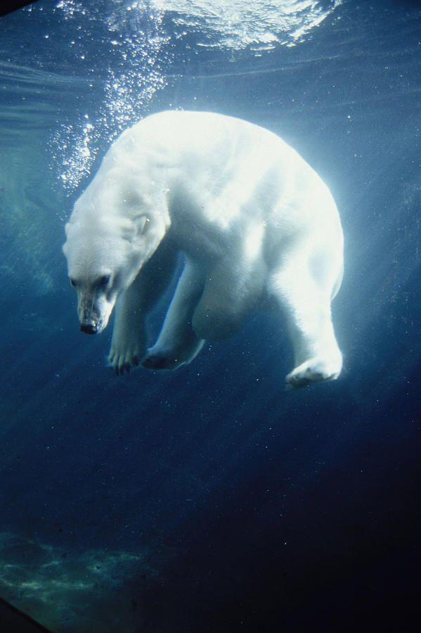Polar bear swimming in ocean - photo#2