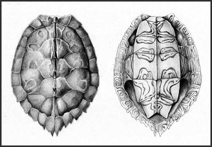 how to get turtle shells