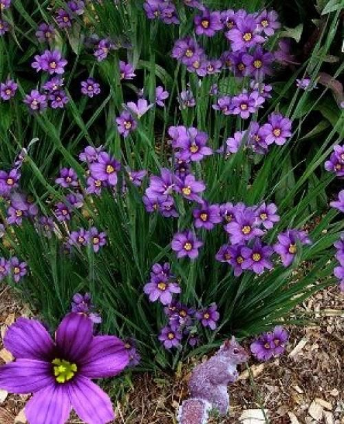 Sisyrinchium Angustifolium 39 Lucerne 39 Shade Loving