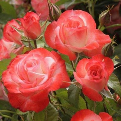 Coretta Scott King, Hybrid Tea Rose