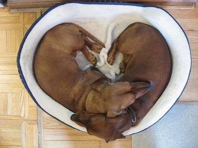 Dachshunds forming a heart!!! This is how I seriously feel about dachshunds! I LOVE THEM!!!