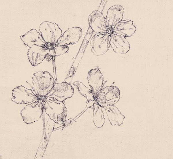 How To Draw A Cherry Blossom Tree In Pencil Cherry blossom sketch