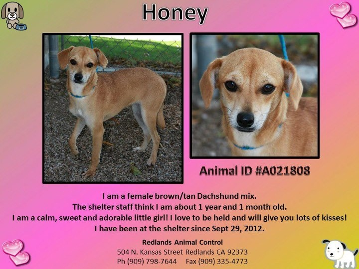 honey 2 redlands animal shelter   adoptable pets pinterest