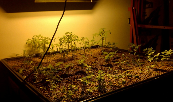 Hydroponic Flood Table Recently transplanted baby greens getting some much needed light! So ...
