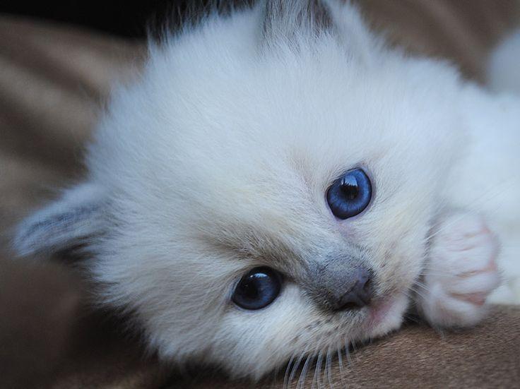 Blue Point Mitted Ragdoll Kitten