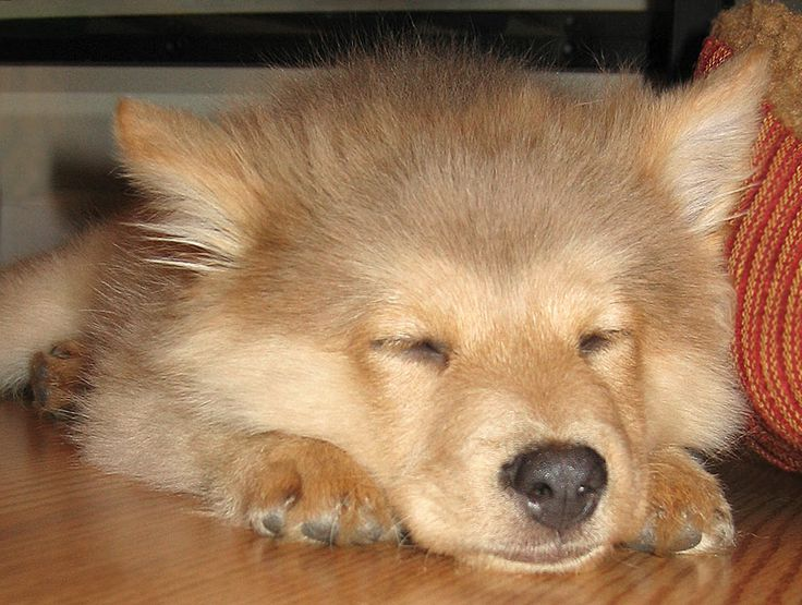 chow chow border collie mix - photo #16