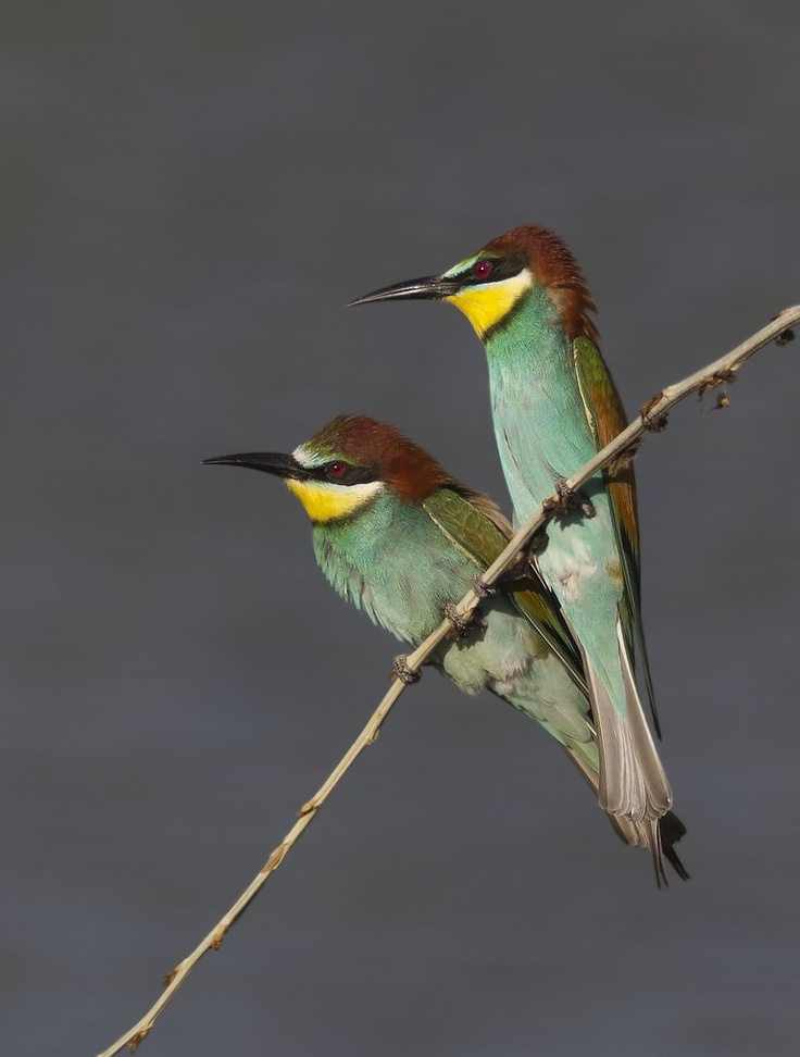 Golden Shchurko - this is one of the most colorful birds of Europe, up to 28 cm