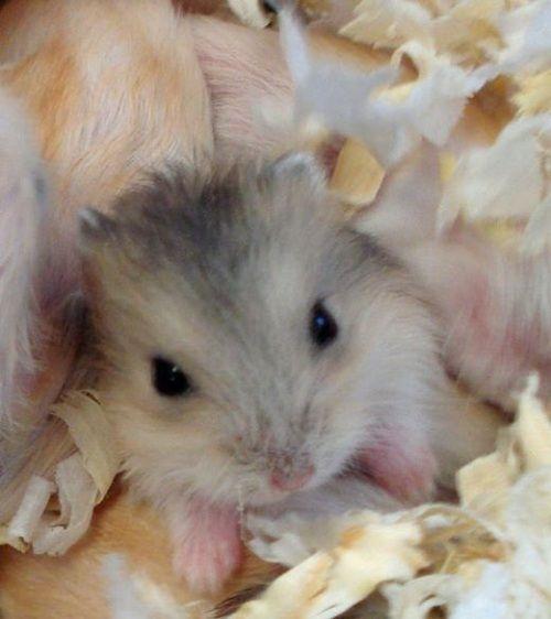 Baby Dwarf Hamster | Dwarf hamster | Pinterest