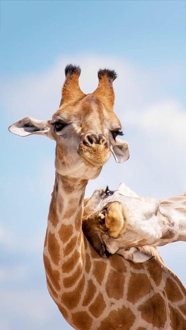 Cute giraffe animal
