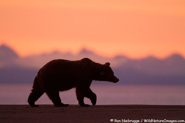 Grizzly Bear Silhouette Photo | silhouette | Pinterest