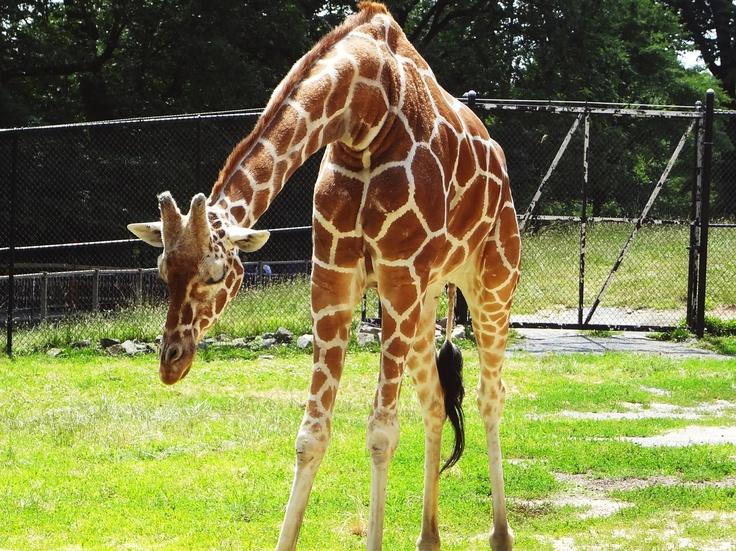 Giraffe Baltimore Zoo Adorable Animals Pinterest