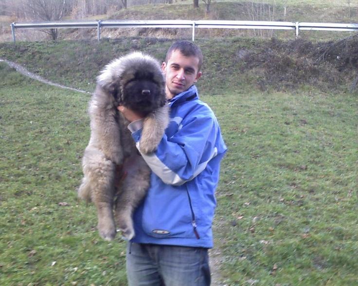 sarplaninac puppy doggies