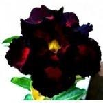 Adenium Obesum (Desert Rose) Double Super Black