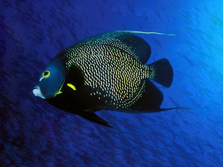 french-angelfish-adult   Pool mural   Pinterest